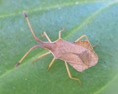 Syromastus rhombeus, 2019-04-19 (laverock21) Tags: syromastusrhombeus coreidae