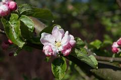 Apple blossom (CarolAnn Photos) Tags: 2019 april appleblossom flora flower