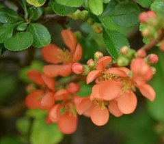 Flowering Quince Blossom (sweetpeapolly2012) Tags: garden gardenflower inthegarden shrubs quince