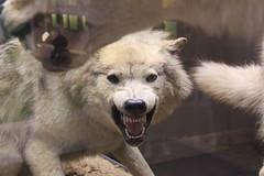 Loup - Wolf (Sp6mEn Pics) Tags: taxidermie animaux empaillés disparus vivants lille france hautsdefrance nord lynx araignée loup dinosaure oiseau squelettes mammifère marin momie insects