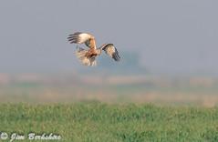 Marsh Harrier 1 (Jims Fotos) Tags: 14extender april2019 canon ef600f4 eos7dmk2 elmley induro kent nature