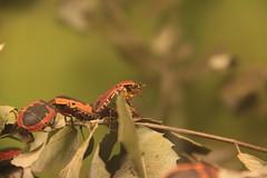 Insect (Sp6mEn Pics) Tags: taxidermie animaux empaillés disparus vivants lille france hautsdefrance nord lynx araignée loup dinosaure oiseau squelettes mammifère marin momie insects