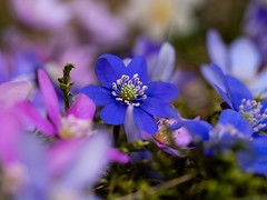 P4196891 (gert.lutter) Tags: photo closeup flora flower nature