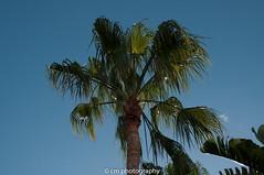 Palm Tree Lanzarote (corinna1411) Tags: lanzarote kanarischeinseln canaryislands pflanze pflanzen stachelig natur nature outside outdoors plant dry trocken botanik nikon nikond300 spain spanien green grün sky blue blau himmel nikkor palmen palmtrees volcano vulkan berge street strasse palme palmtree