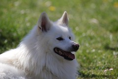 Franz der Spitz (Klaus R. aus O.) Tags: hund haustier spitz rasen wachhund hunderasse deutsche spitze begleithund kläffer familien familienhund weis