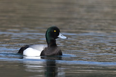 Scaup or Greater Scaup (Aythya marila) - male #3 (sdflickr2) Tags: scaup greaterscaup aythyamarila male drake nottinghamshire april 2019 attenboroughnr schedule1