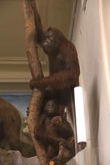 Orang-outan (Sp6mEn Pics) Tags: taxidermie animaux empaillés disparus vivants lille france hautsdefrance nord lynx araignée loup dinosaure oiseau squelettes mammifère marin momie insects