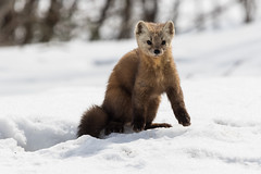 Pine Marten (dwb838) Tags: pinemarten winter algonquinpark snow