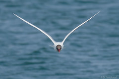 Black Headed Gull on Staines Reservoir (Dpanchaud) Tags: headon middlesex colour england gull openmouth blue bird flying staines europe blackheadedgull 2019 stainesreservoir april
