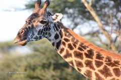 BK0_4042 (b kwankin) Tags: africa giraffe ndutu serengeti tanzania