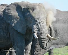 BK0_2602 (b kwankin) Tags: africa elephant ndutu serengeti tanzania