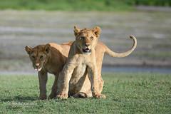 BK0_2302 (b kwankin) Tags: africa lion ndutu serengeti tanzania baby
