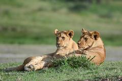 BK0_2274 (b kwankin) Tags: africa lion ndutu serengeti tanzania baby