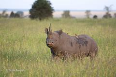BK0_1121 (b kwankin) Tags: africa oxpecker rhinocerousblack serengeti tanzania