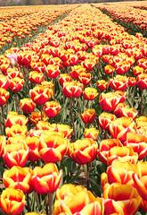 Tulip fields (hedgehoggarden1) Tags: fields flora flowers nature norfolk eastanglia uk sonycybershot colour red yellow sony tulips