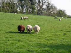 bottoms up (auroradawn61) Tags: goodfriday easter dorset uk england spring 2019 sunny countryside sheep field