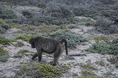 DSC_4028_1 (Marshen) Tags: chacmababoon southafrica capetown