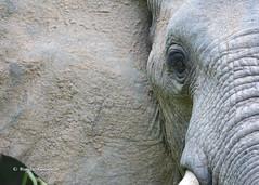 BK0_6660 (b kwankin) Tags: africa elephant ruahanationalpark tanzania