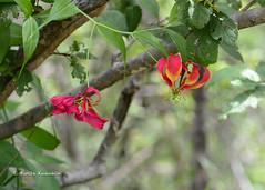 BK0_5730 (b kwankin) Tags: africa flamelily flora ruahanationalpark tanzania