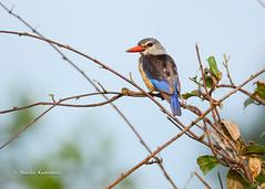 BK0_5687 (b kwankin) Tags: africa bird kingfishergreyheaded ruahanationalpark tanzania
