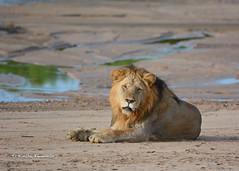 BK0_5559 (b kwankin) Tags: africa lion ruahanationalpark tanzania