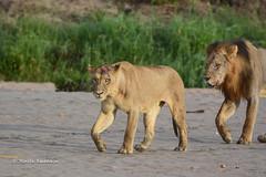 BK0_5479 (b kwankin) Tags: africa lion ruahanationalpark tanzania