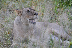 BK0_5361 (b kwankin) Tags: africa lion ruahanationalpark tanzania