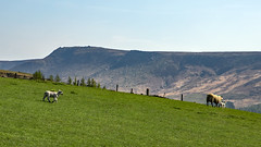Lone Lamb (Craig Hannah) Tags: greenfield saddleworth potsandpans walk wander stroll trail treck pennine peakdistrictnationalpark craighannah april 2019 landscape oldham greatermanchester england uk agriculture hills sheep animal livestock