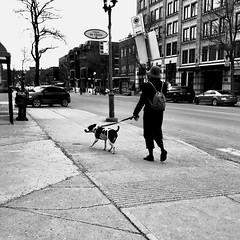 À gauche, c'est mieux... (woltarise) Tags: streetwise iphone7 temps gris promenade chien montréal rue bernard outremont