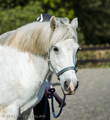 20190419-BQ__4298.jpg (brian.quinlan) Tags: animals buffy athertonoldhallfarm horses