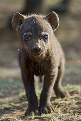 Hyena pup looking at me (Tambako the Jaguar) Tags: hyena pup cub baby young cute black standing posing dry grass portrait face spotted genitalia genitals looking lionsafaripark johannesburg southafrica nikon d5