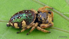 Colorful Jumping Spider, Parnaenus cyanidens, Salticidae (Ecuador Megadiverso) Tags: andreaskay arachnida ecuador focusstack jumpingspider parnaenuscyanidens salticidae spider