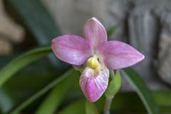 XXI Exposición Nacional de Orquídeas (José M. Arboleda) Tags: orquídea catleya flor exposición premio concurso popayán colombia canon eos 5d markiv ef100mmf28usm josémarboledac