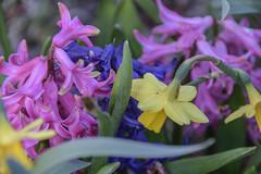 Spring yard 18 (John Rothwell) Tags: grandrapids michigan spring yard flowers dog cat nature