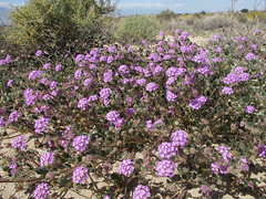 Purple Profusion (zoniedude1) Tags: california desert spring wildflowers purple verbena abronia desertsandverbena abroniavillosa purpleprofusion native pinkishpurple beauty saltonsea springbloom2019 desertspring2019 superbloom2019 wild nature elniño201819 detailshot flowers colorful 200ftelevation riversidecounty socal outinthewild closeup detail macro exploration canonpowershotg12 pspx19 zoniedude1 earthnaturelife