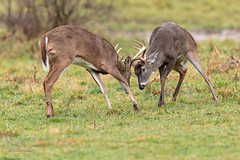 Just getting going (Michael Allen Siebold (Getty Images Contributor)) Tags: outside nature green day buck deer animal wild