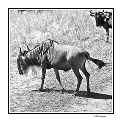 wildebeast (harrypwt) Tags: harrypwt africa afrika borders framed 5dmarkii 28105 monochrome safari kenya animal savannah bw 11 square wildebesat