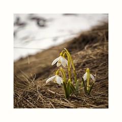 Spring (MaViDar) Tags: snowdrops