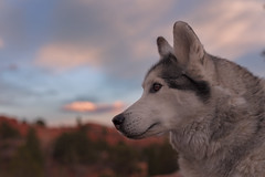 Aurora (Cruzin Canines Photography) Tags: animal animals canon canoneos5ds canon5ds canine 5ds eos5ds dog dogs pet pets aurora husky huskies alaskanhusky siberianhusky outdoors outside nature naturallight naturepreserve gardenofthegods colorado coloradosprings
