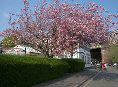 Spring blossom at The Continental, Preston (Tony Worrall) Tags: preston lancs lancashire city welovethenorth nw northwest north update place location uk england visit area attraction open stream tour country item greatbritain britain english british gb capture buy stock sell sale outside outdoors caught photo shoot shot picture captured ilobsterit instragram photosofpreston pink nature blossom tree beauty continental pub bar inn color colours thecontinental
