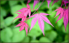La vie en rose ! (watbled05) Tags: bokeh couleurs érable feuilles végétaux valloire jardin