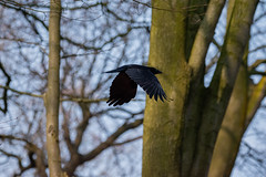 Crow in flight (Mikon Walters) Tags: crow bird raven black wings flying fly flight uk britain england birds animals creatures living things wildlife wild life nikon d5600 sigma 150600mm contemporary super zoom lens photography trees