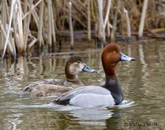redhead ducks (Pattys-photos) Tags: redhead ducks marketlakewildlifemanagementarea idaho pattypickett4748gmailcom pattypickett