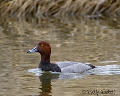 redhead duck (Pattys-photos) Tags: redhead ducks marketlakewildlifemanagementarea idaho pattypickett4748gmailcom pattypickett