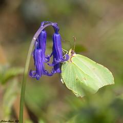 Citron butinant une Jacinthe des bois (Phil du Valois) Tags: citron jacinthe sauvage papillon fleur bois forêt gonepteryx rhamni hyacinthoides nonscripta bluebell
