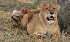 Happy Caturday (AnyMotion) Tags: lion löwe pantheraleo female lioness löwin cat katze 2015 anymotion serengetinationalpark tanzania tansania africa afrika travel reisen animal animals tiere nature natur wildlife 7d2 canoneos7dmarkii ngc npc