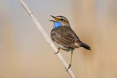 Bluethroat (JS_71) Tags: nature wildlife nikon photography outdoor 500mm bird new spring see natur pose moment outside animal flickr colour poland sunshine beak feather nikkor d500 wildbirds planet global national wing eye watcher