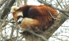 7361e snoozing Red Panda (jjjj56cp) Tags: redpanda mammals sleeping snoozing treetop furry curledup fur mammal cincinnatizoo cincinnati oh ohio cincinnatiohio spring springtime april p1000 coolpixp1000 nikoncoolpixp1000 jennypansing tree bark branches