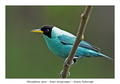 Green honeycreeper (Jan H. Boer, Nature photographer) Tags: chlorophanesspiza greenhoneycreeper groene suikervogelbirdshoneycreepersnaturewildlifeportraitmalecosta ricaboca tapadanikond500afs nikkor 200500 f56e ed vrjan´s photostream 2019