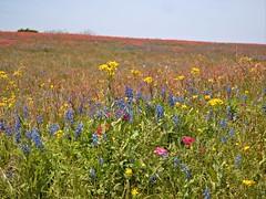P1010192 -1R (hyphy2008) Tags: brenham texas wildflowers bluebonnets